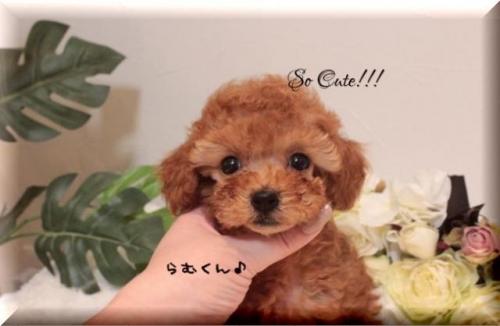 トイプードルの子犬(ID:1246411002)の1枚目の写真/更新日:2019-10-31
