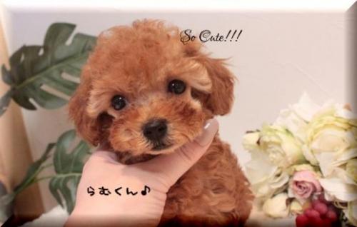トイプードルの子犬(ID:1246411002)の2枚目の写真/更新日:2019-10-31