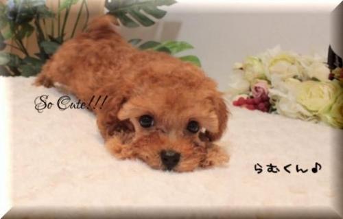 トイプードルの子犬(ID:1246411002)の3枚目の写真/更新日:2019-10-31