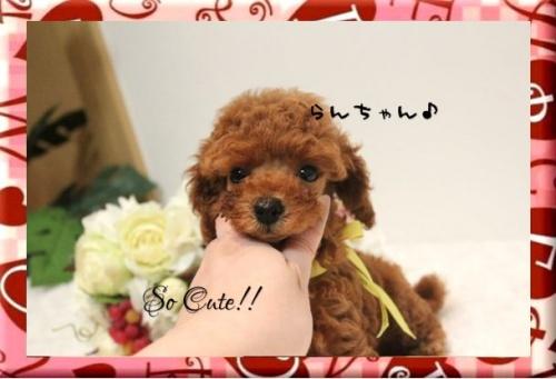 トイプードルの子犬(ID:1246411003)の2枚目の写真/更新日:2017-08-15