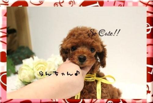 トイプードルの子犬(ID:1246411003)の4枚目の写真/更新日:2017-08-15