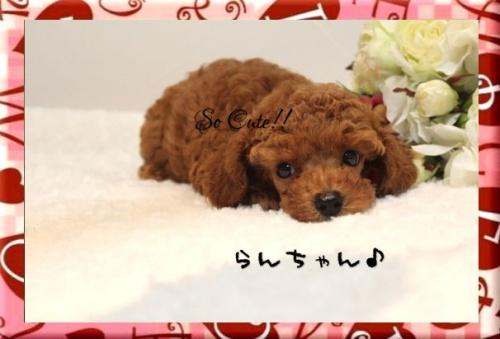 トイプードルの子犬(ID:1246411003)の5枚目の写真/更新日:2017-08-15