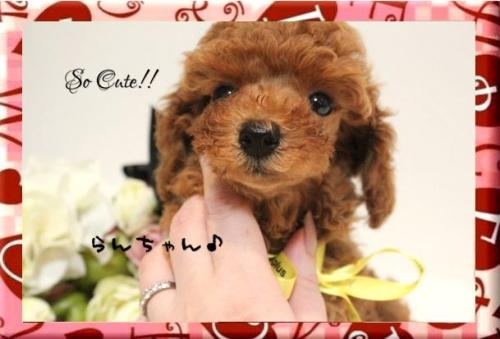 トイプードルの子犬(ID:1246411003)の6枚目の写真/更新日:2017-08-15
