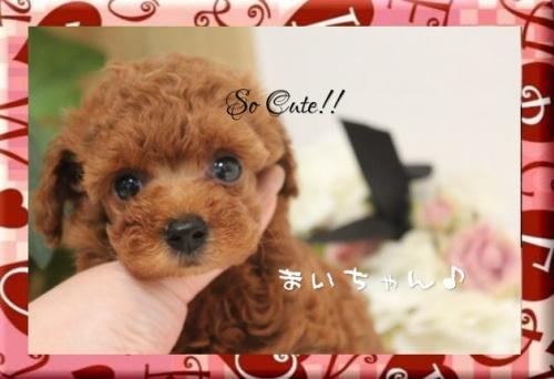 トイプードルの子犬(ID:1246411004)の2枚目の写真/更新日:2017-08-15
