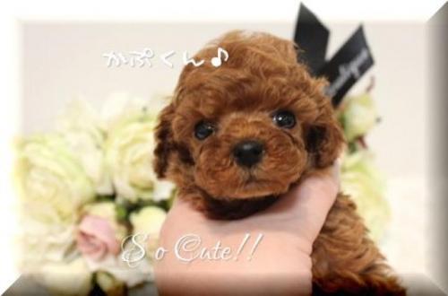 トイプードルの子犬(ID:1246411005)の1枚目の写真/更新日:2018-08-27