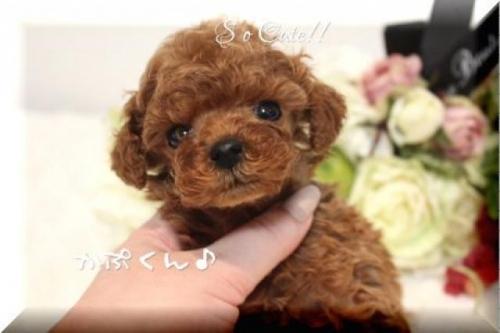 トイプードルの子犬(ID:1246411005)の2枚目の写真/更新日:2018-08-27
