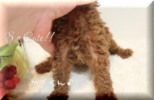 トイプードルの子犬(ID:1246411005)の3枚目の写真/更新日:2018-08-27