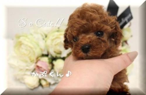 トイプードルの子犬(ID:1246411005)の4枚目の写真/更新日:2018-08-27