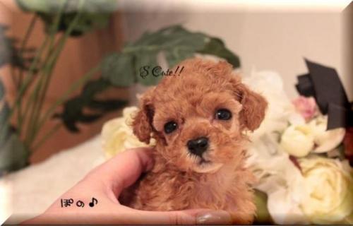 トイプードルの子犬(ID:1246411006)の1枚目の写真/更新日:2019-01-25