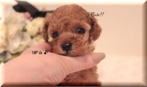トイプードルの子犬(ID:1246411006)の2枚目の写真/更新日:2019-01-25
