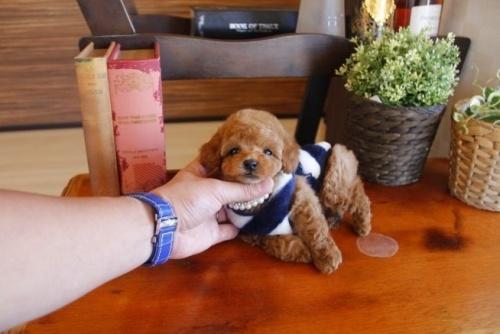 トイプードルの子犬(ID:1246511061)の1枚目の写真/更新日:2017-01-12