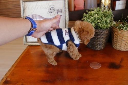 トイプードルの子犬(ID:1246511061)の2枚目の写真/更新日:2017-01-12