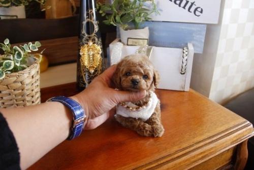 トイプードルの子犬(ID:1246511062)の1枚目の写真/更新日:2017-02-10
