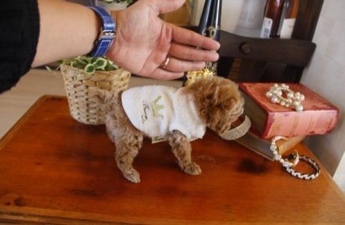 トイプードルの子犬(ID:1246511062)の2枚目の写真/更新日:2017-02-10