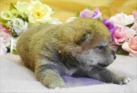柴犬の子犬(ID:1246711023)の1枚目の写真/更新日:2018-06-04