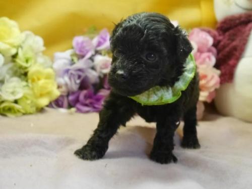 トイプードルの子犬(ID:1246711296)の1枚目の写真/更新日:2018-07-10