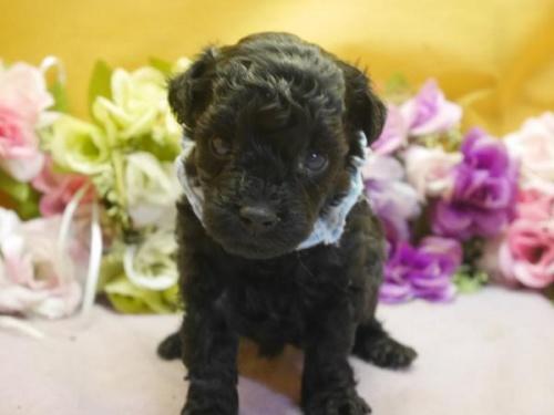 トイプードルの子犬(ID:1246711297)の1枚目の写真/更新日:2018-07-10