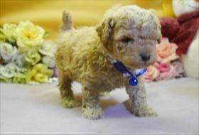 トイプードルの子犬(ID:1246711300)の1枚目の写真/更新日:2018-06-12
