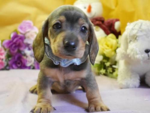ミニチュアダックスフンド(スムース)の子犬(ID:1246711559)の2枚目の写真/更新日:2019-08-27