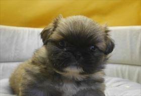 ペキニーズの子犬(ID:1246711569)の1枚目の写真/更新日:2019-11-06