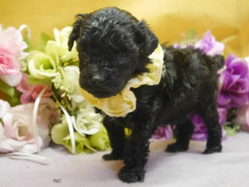 トイプードルの子犬(ID:1246711571)の1枚目の写真/更新日:2018-07-10