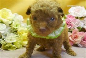 トイプードルの子犬(ID:1246711573)の1枚目の写真/更新日:2018-07-10