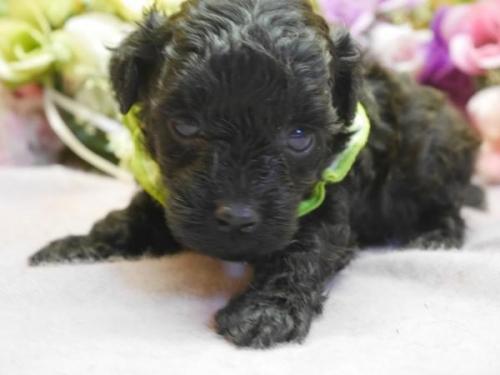トイプードルの子犬(ID:1246711574)の1枚目の写真/更新日:2018-07-10