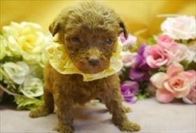 トイプードルの子犬(ID:1246711575)の1枚目の写真/更新日:2018-07-10