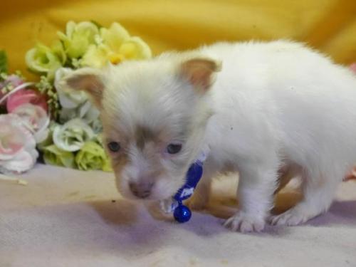 チワワ(ロング)の子犬(ID:1246711576)の1枚目の写真/更新日:2018-07-10