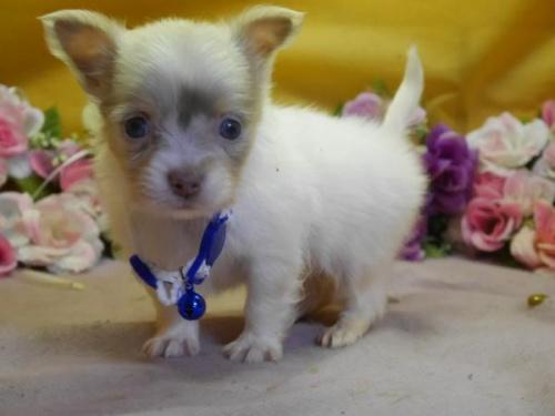 チワワ(ロング)の子犬(ID:1246711577)の1枚目の写真/更新日:2018-07-10