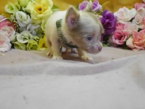 チワワ(ロング)の子犬(ID:1246711577)の2枚目の写真/更新日:2018-07-10