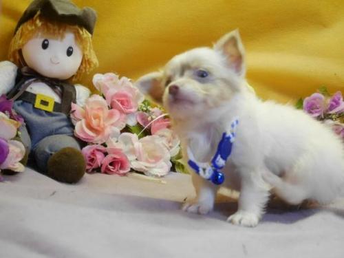 チワワ(ロング)の子犬(ID:1246711577)の3枚目の写真/更新日:2018-07-10