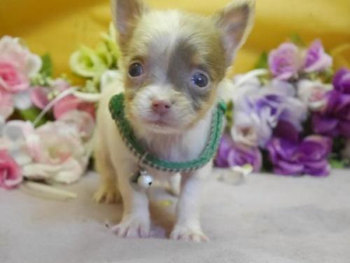 チワワ(ロング)の子犬(ID:1246711578)の1枚目の写真/更新日:2018-07-10