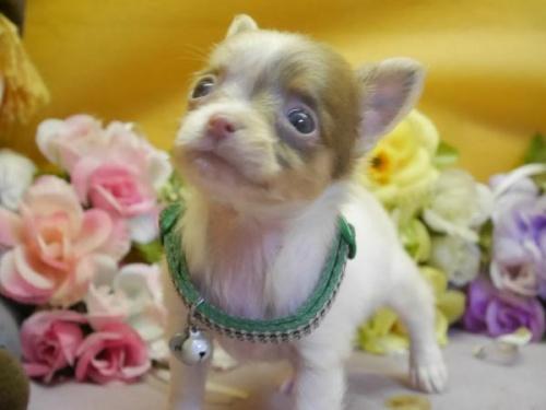チワワ(ロング)の子犬(ID:1246711578)の2枚目の写真/更新日:2018-07-10