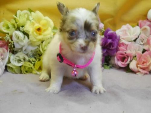チワワ(ロング)の子犬(ID:1246711582)の1枚目の写真/更新日:2018-07-10