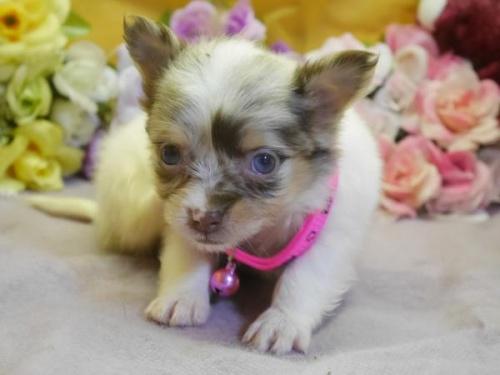 チワワ(ロング)の子犬(ID:1246711582)の2枚目の写真/更新日:2018-07-10
