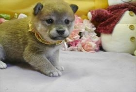 柴犬の子犬(ID:1246711590)の1枚目の写真/更新日:2018-12-18