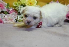 マルチーズの子犬(ID:1246711603)の2枚目の写真/更新日:2018-06-12
