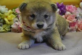柴犬の子犬(ID:1246711612)の1枚目の写真/更新日:2018-12-18