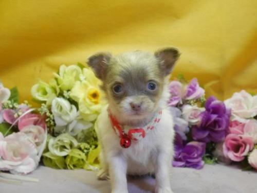 チワワ(ロング)の子犬(ID:1246711618)の1枚目の写真/更新日:2018-07-10