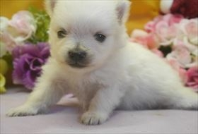 ポメラニアンの子犬(ID:1246711622)の1枚目の写真/更新日:2016-11-01