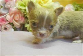 カニンヘンダックスフンド(ロング)の子犬(ID:1246711629)の1枚目の写真/更新日:2016-11-04