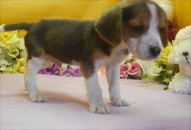 ビーグルの子犬(ID:1246711635)の2枚目の写真/更新日:2016-11-07