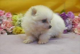 ポメラニアンの子犬(ID:1246711640)の1枚目の写真/更新日:2016-12-07