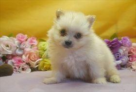 ポメラニアンの子犬(ID:1246711641)の1枚目の写真/更新日:2016-12-07
