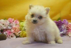 ポメラニアンの子犬(ID:1246711641)の2枚目の写真/更新日:2016-12-07