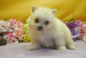 ポメラニアンの子犬(ID:1246711641)の3枚目の写真/更新日:2016-12-07