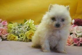 ポメラニアンの子犬(ID:1246711643)の1枚目の写真/更新日:2016-12-07