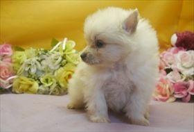 ポメラニアンの子犬(ID:1246711643)の2枚目の写真/更新日:2016-12-07