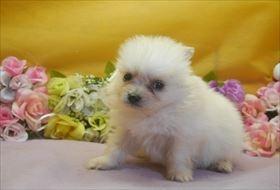 ポメラニアンの子犬(ID:1246711643)の3枚目の写真/更新日:2016-12-07